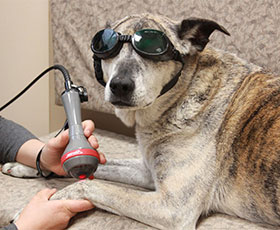 dog with goggles doing laser therapy