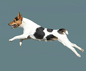 leap dog terrier breed